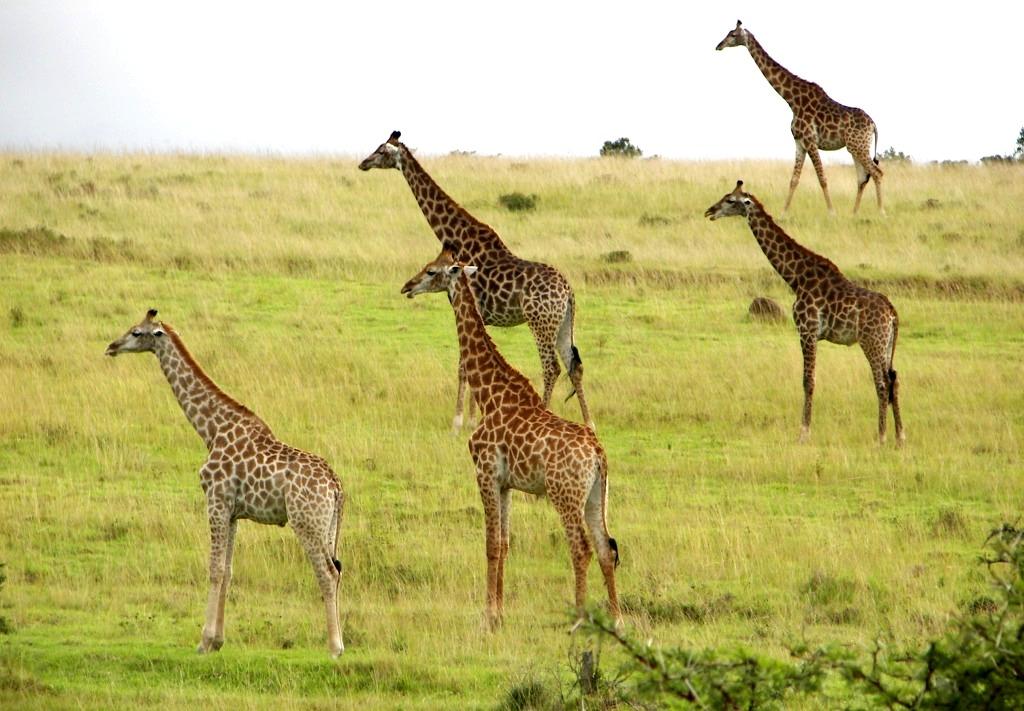 Giraffe JXS 1