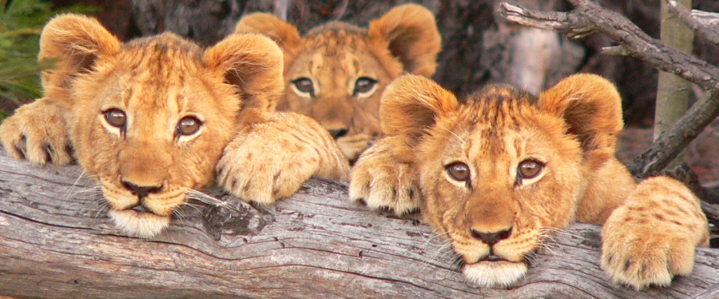 three lion cubs2