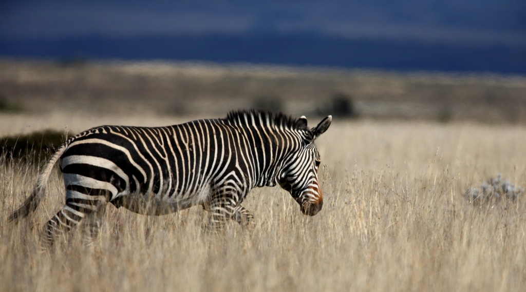 Cape Mountain Zebra pictured by Chris Petersen in the Cape Mountain Zebra National Park.