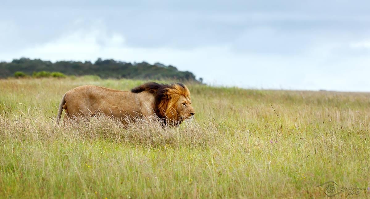 Lion_04M